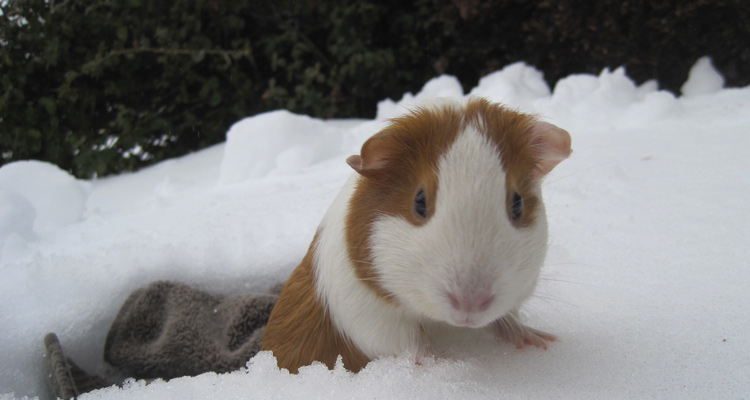 R Guinea Pigs Rodents Rodent Resource...
